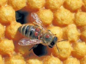 bij met varroa